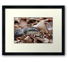 Black Rat Snake in Dead Leaves Framed Print