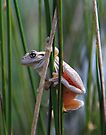Peron,s Tree Frog by Donovan Wilson