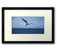 Black Headed Gull Framed Print
