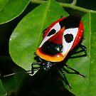 Ixora Shield-Bug_2 by aussiecreatures