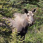 Moose in Kananaskis  by Teresa Zieba
