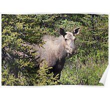 Moose in Kananaskis  Poster