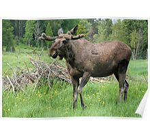 Moose Poster