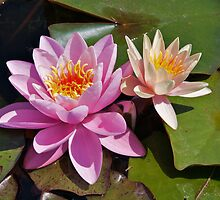 Water Lilies by PhotosByHealy