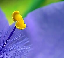 One Single Stamen: Spiderwort by paintingsheep