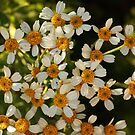 tiny daisies by Isabel  Rosero