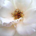 White Wonder by Mounty