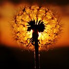 Dandelion Dusk by Amy Dee