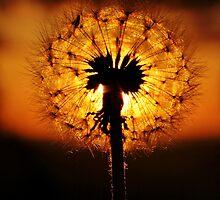 Dandelion Dusk by Amy Dee