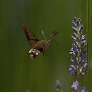 Broad-bordered Bee Hawkmoth by David Clarke