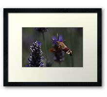 Broad-bordered Bee Hawkmoth 2 Framed Print