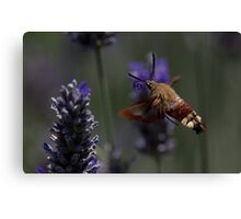 Broad-bordered Bee Hawkmoth 2 Canvas Print