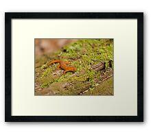 Red Eft in Spring Framed Print