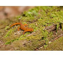 Red Eft in Spring Photographic Print