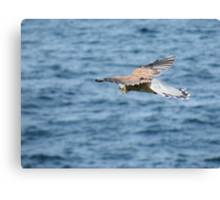 Kestrel - Port Isaac, Cornwall Canvas Print