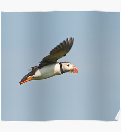 Puffin inflight ~ Isle of May Poster