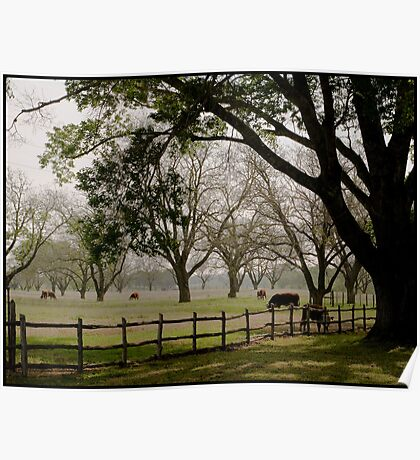 Texas cow pasture Poster
