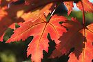 Maple Blush by Astrid Ewing Photography