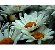 Dawn Of The Daisies Photographic Print