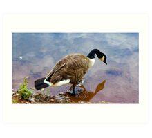 Goose Reflection Art Print