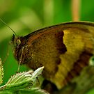 Meadow Brown by Russell Couch