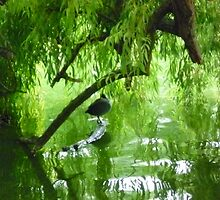 Coot in the Willows by Chris1249