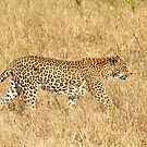 Stalking Female Leopard by Gina Ruttle  (Whalegeek)
