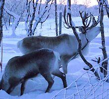 Reindeer at Sunrise by Honor Kyne