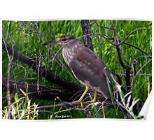Immature Black Crowned Night Heron Poster