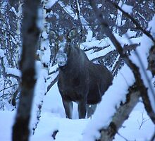 Elk through the trees by Honor Kyne
