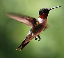 Male Ruby Throated Hummingbird by barnsis