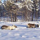 Reindeer Grazing by Honor Kyne