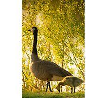 Goose & Gosling Photographic Print