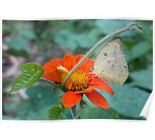 Butterfly feeding on pollen, Thailand Poster