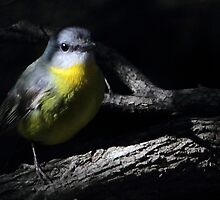 Eastern Yellow Robin by paulinea