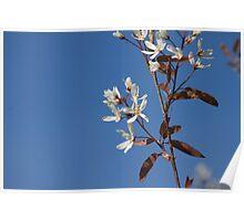 White blossom in Spring Poster
