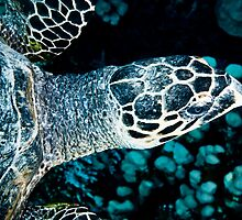 Turtle by JonMilnes