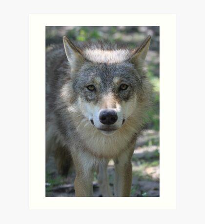 Eurasian Wolf (Canis lupus lupus) Art Print