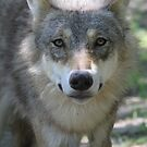 Eurasian Wolf (Canis lupus lupus) by DutchLumix