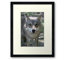 Eurasian Wolf (Canis lupus lupus) Framed Print