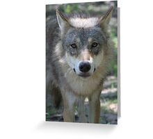 Eurasian Wolf (Canis lupus lupus) Greeting Card