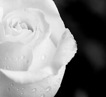 White rose with drops by Francesco Malpensi