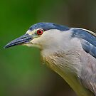 Portrait of a Night Heron by Daniel  Parent