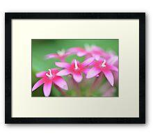 Pink Pentas Framed Print