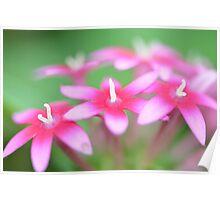 Pink Pentas Poster