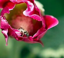 Unknown Bee on a Rose by Annora Ayer