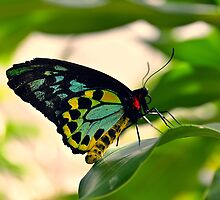 Cairns Birdwing Butterfly (Ornithoptera priamus) by andreisky