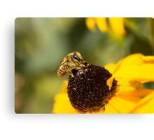 Megachile Bee on Black-eyed Susan Canvas Print