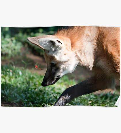 Maned Wolf (Lobo Guará) Poster