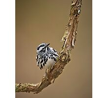 Black & White Warbler Photographic Print